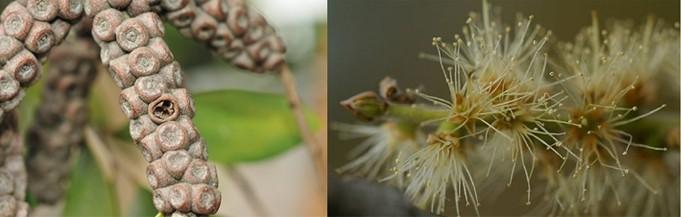 Каджепут Цветы