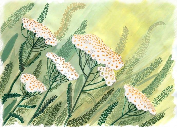 Цветок тысячелистника