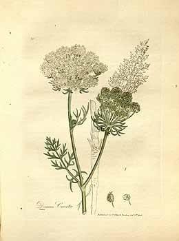 Daucus Carota. Дикая морковь. Spirits of Plants
