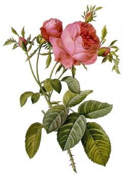 Роза: стебель