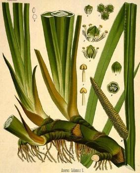 Аир болотный: сила растения